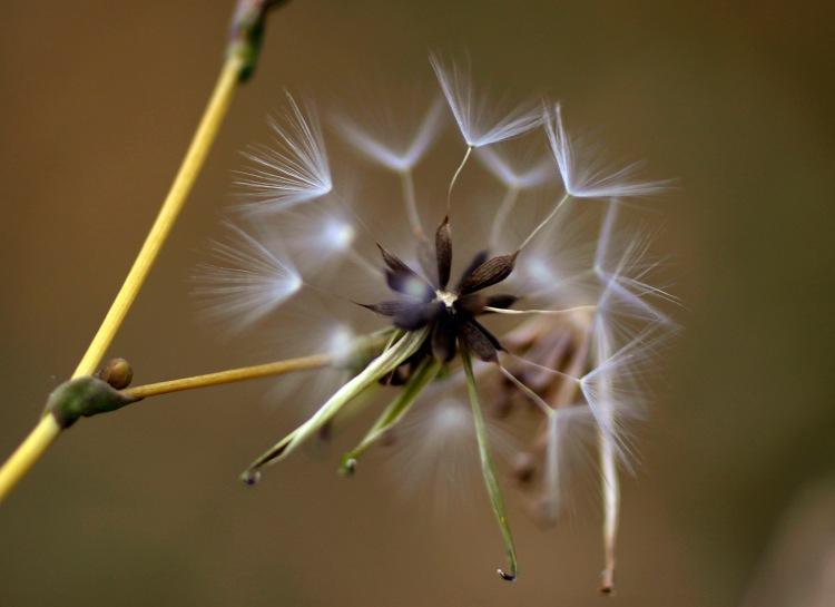 seedpuffweb